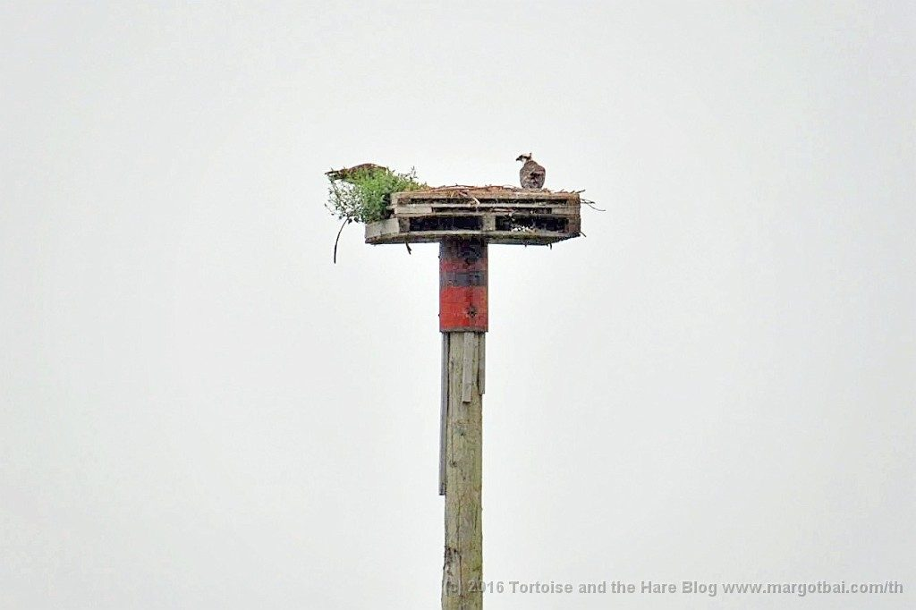 Osprey nest at Charlottenburgh Park. There are two juveniles at the nest in this photo