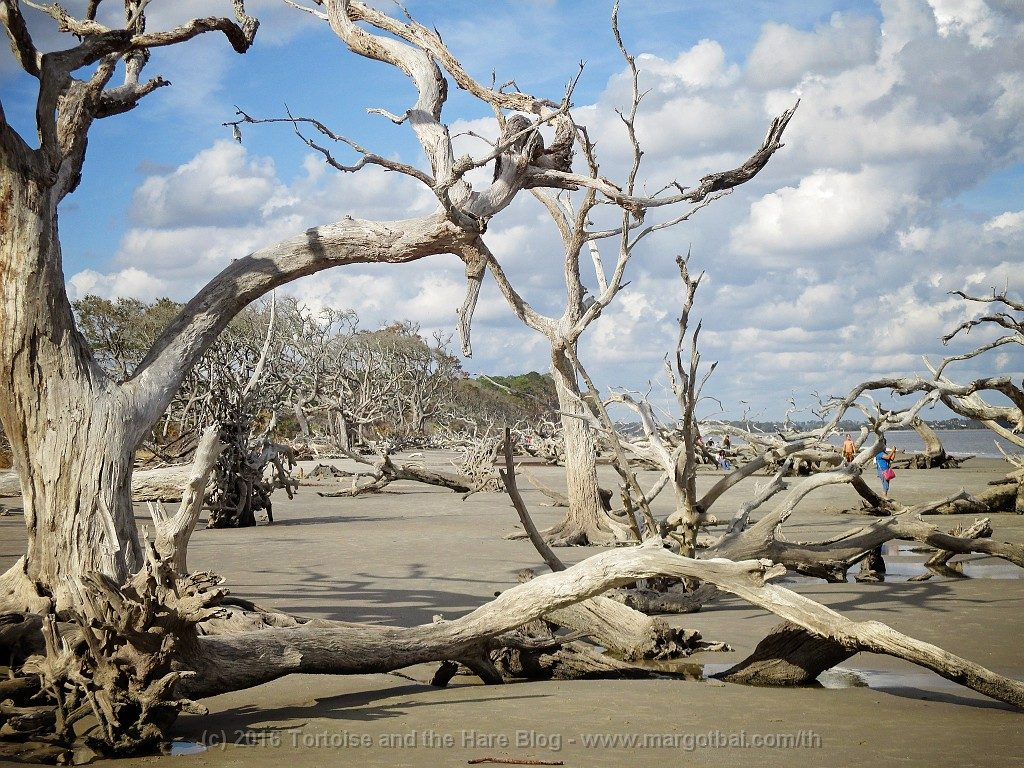 The iconic driftwood trees after which Driftwood Beach was named