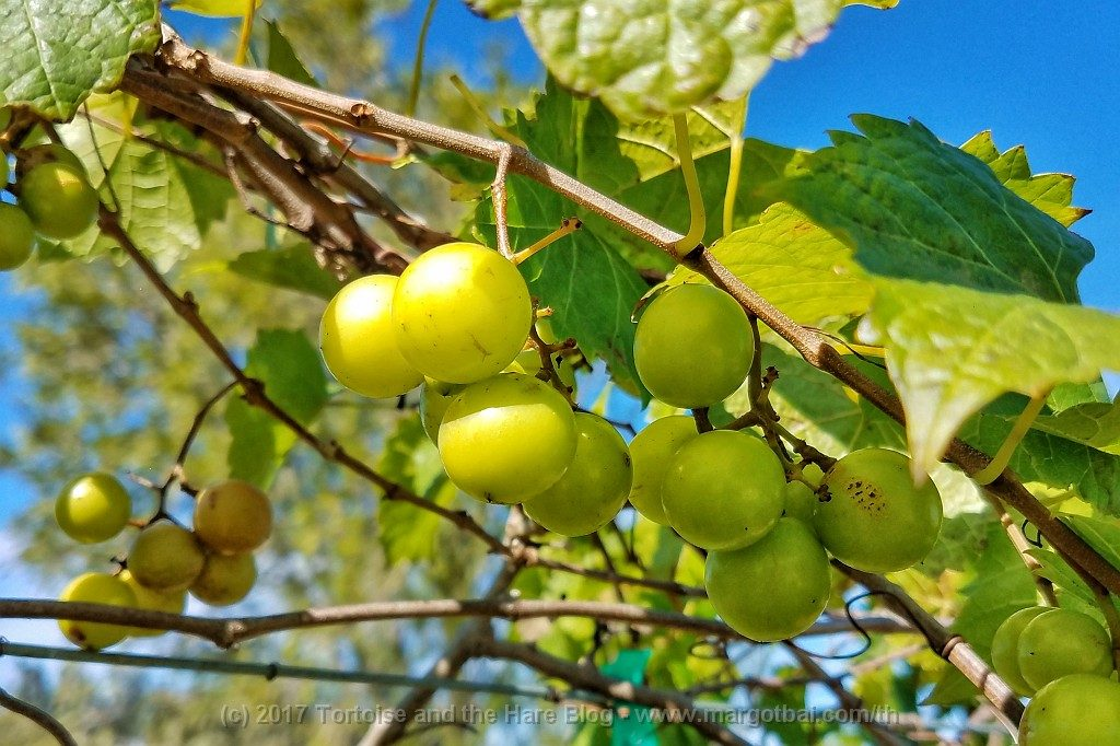 Florida muscadine grapes at Summer Crush Winery