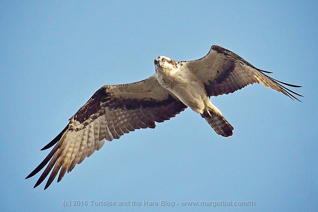 There are lots of Osprey in Florida. They soar high in the air looking for fish, then swoop down and catch tem with their feet and carry them away!