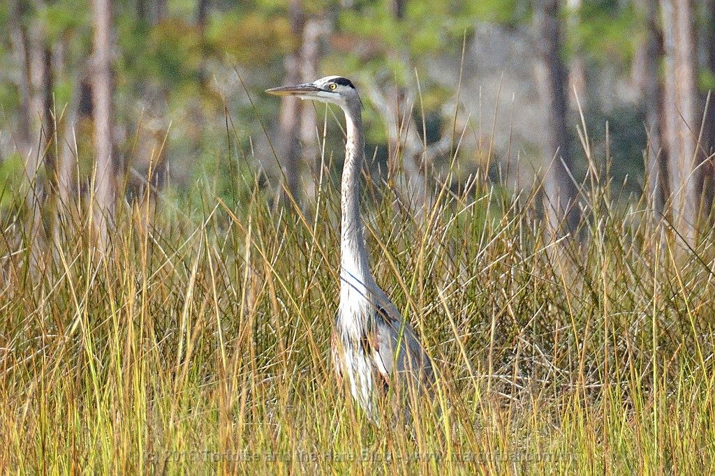 Blue Herons migrate from Ontario to Florida. Maybe we saw this exact guy from back in Canada!