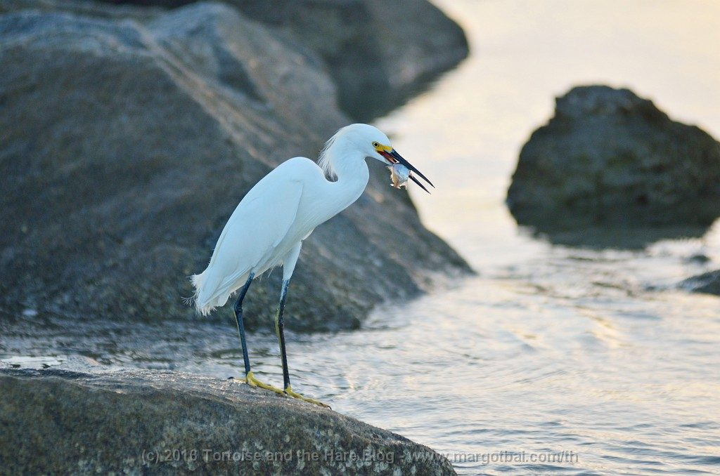 This egret caught a fish at the jetty by the beach