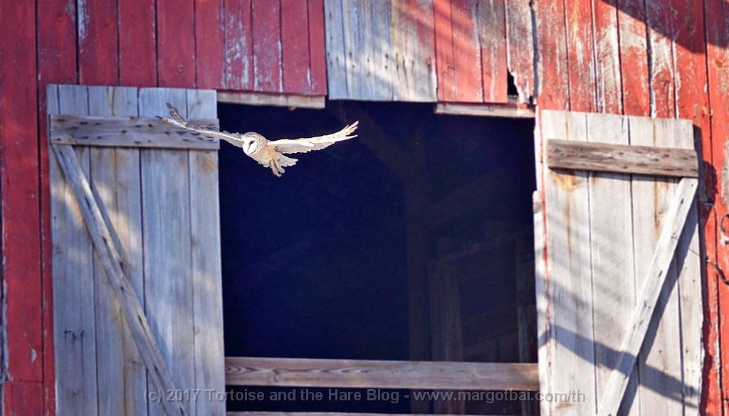 I did however, catch a photo of this barn owl as he was exiting the barn!