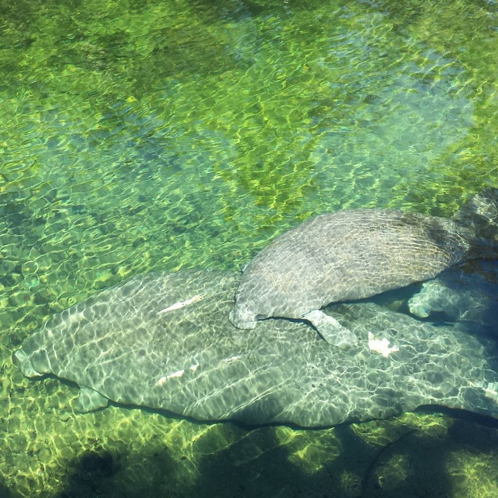 Great manatee action at the spring today! torthare nofilter