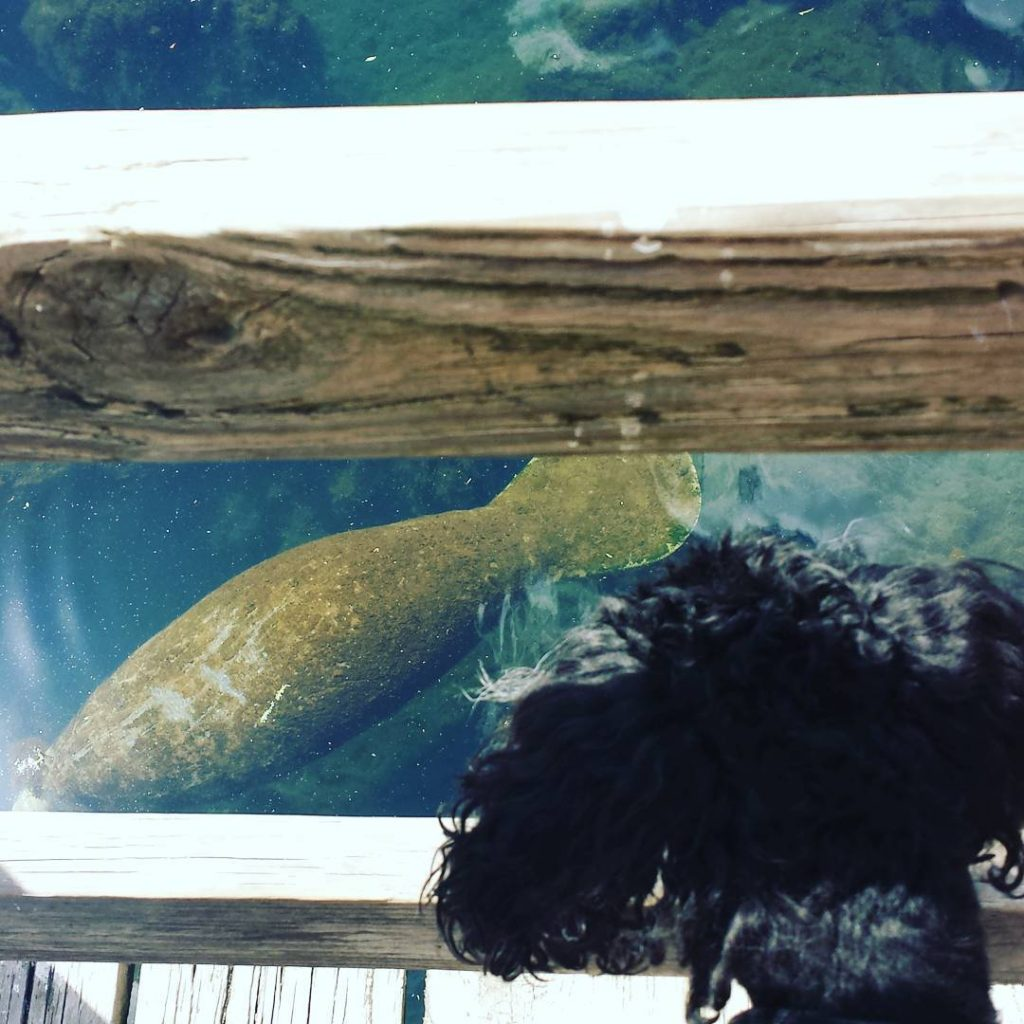 Hmmm what do we have here? torthare manatee minipoodle