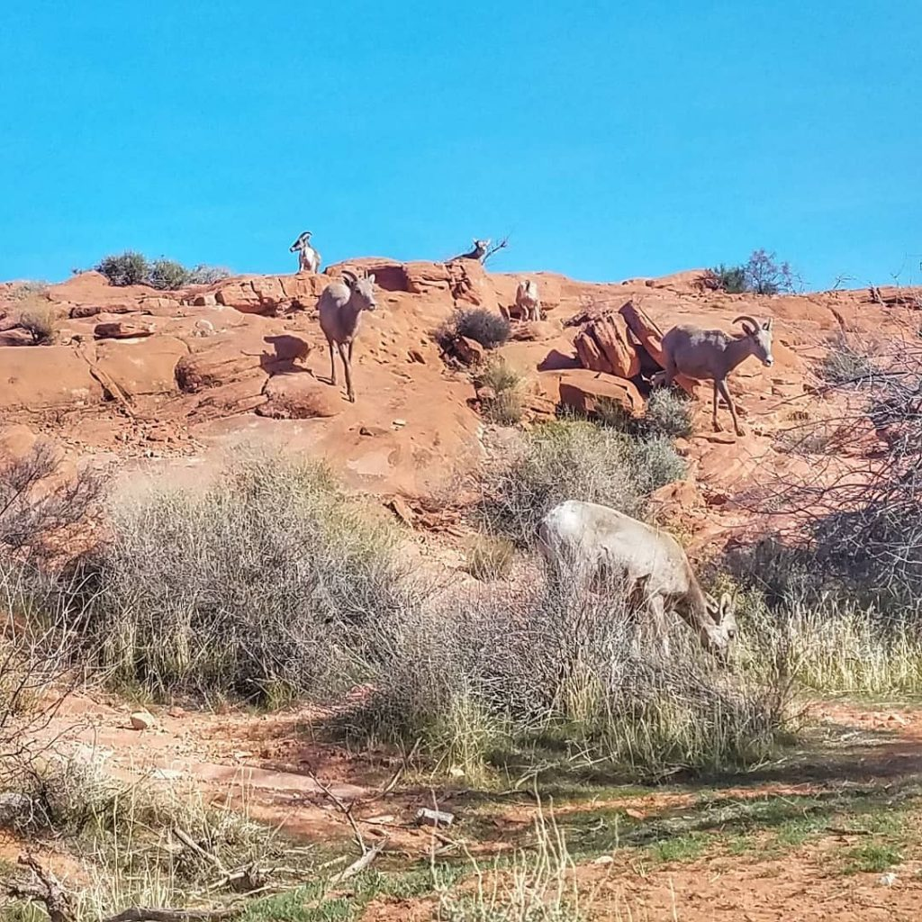 Cool sighting of some wild desert bighorn sheep today! Lambshellip